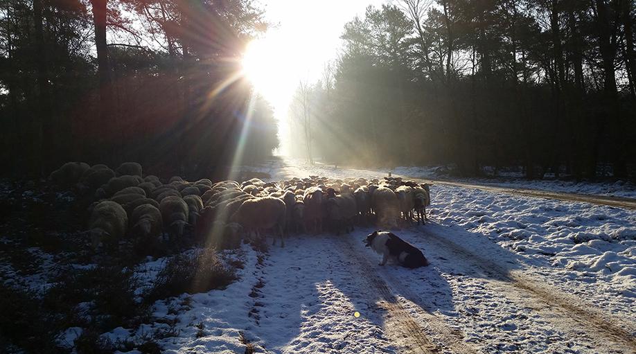 De schaapskudde op een winterse februaridag in de sneeuw - Foto: ©Fam. van Eekelen