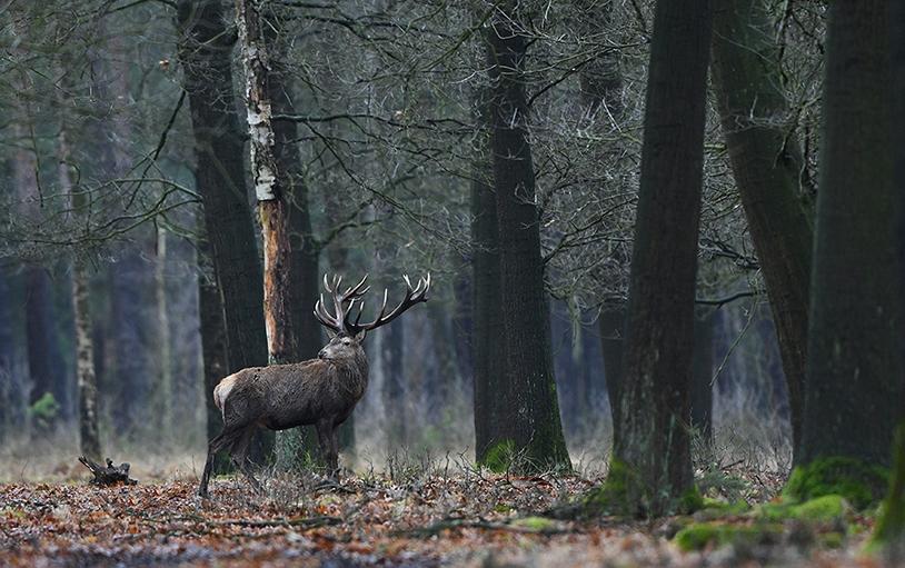 Van onder de bomen, kijkt Hubertus nog eens achterom naar zijn soortgenoot – Foto: ©Louis Fraanje