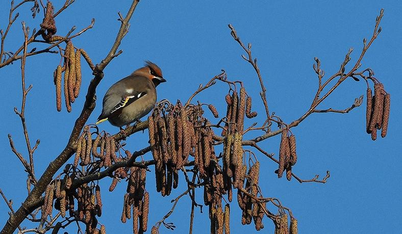 De pestvogel zit hoog in de boom tussen de elzenkatjes - Foto: ©Louis Fraanje
