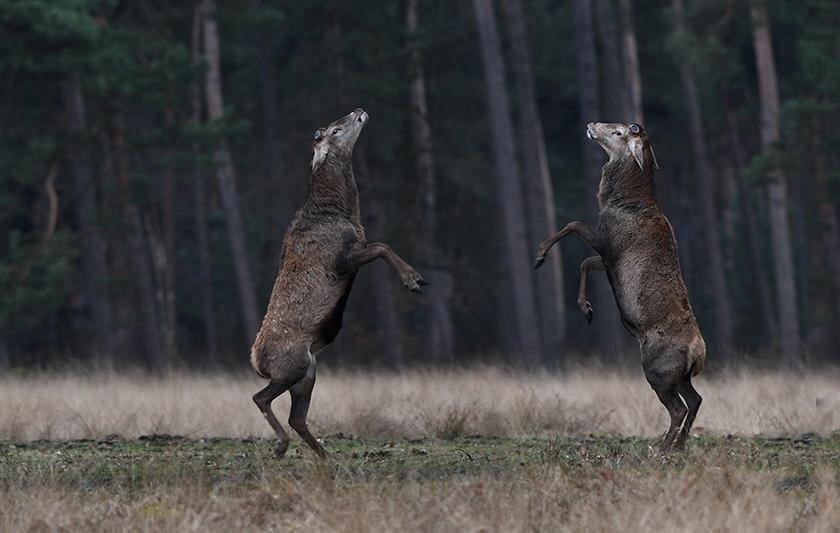 Het hert rechts op de foto is Hubertus - Foto: ©Louis Fraanje