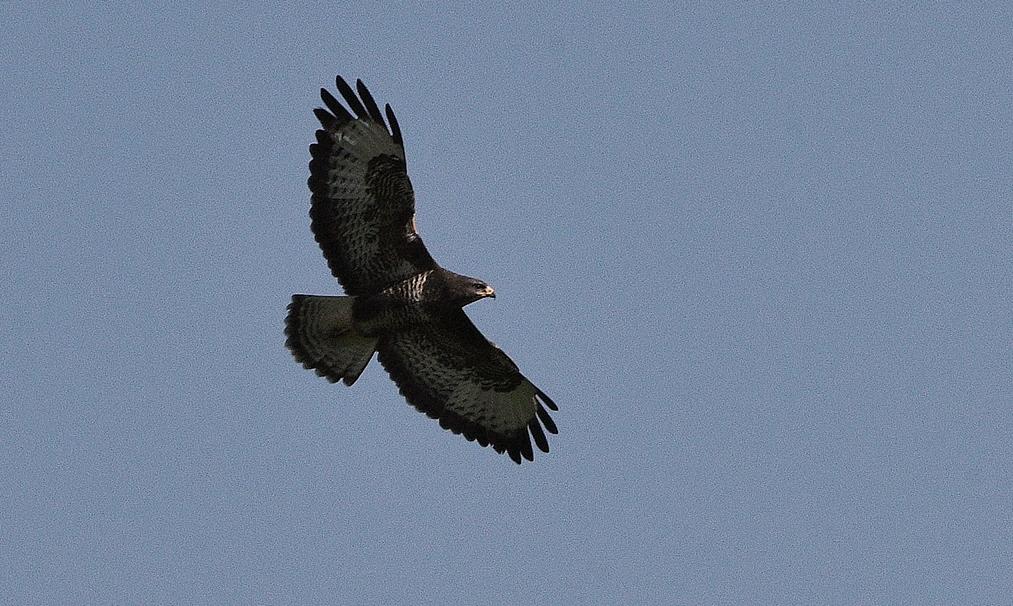 Majestueus zijn grote vleugels uitslaand, zweeft de buizerd tussen hemel en aarde - Foto: ©Louis Fraanje