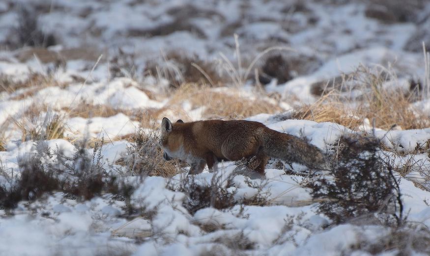 Daar zag ik opeens een vos tussen het besneeuwde gras - Foto: ©Riek Gevers