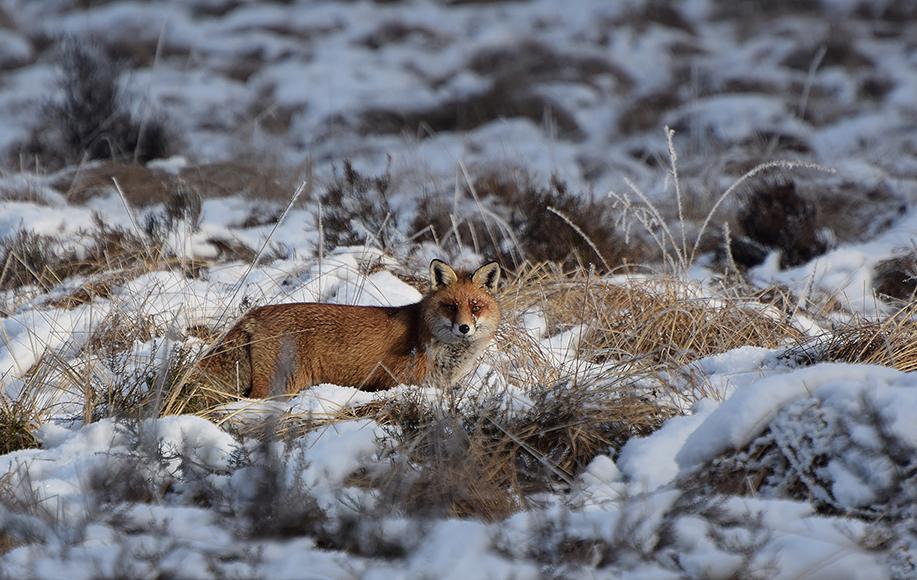 Oog in oog met Reintje de vos - Foto: ©Riek Gevers