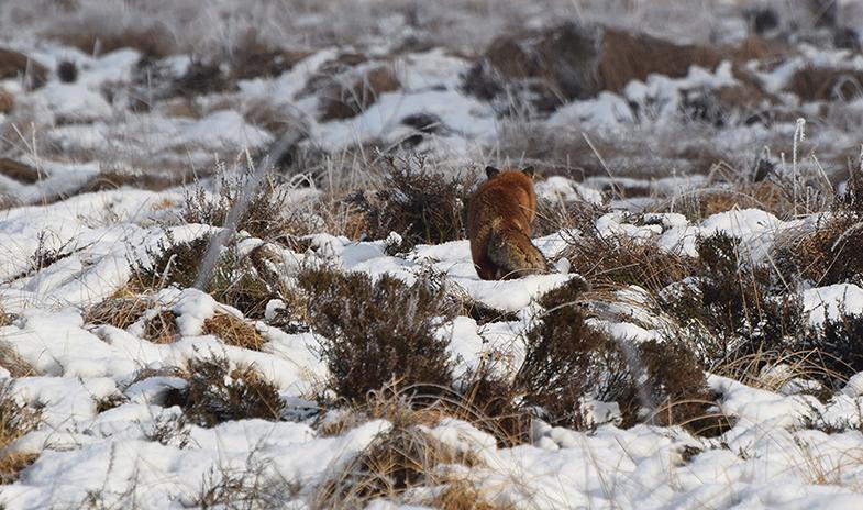 Een rood-bruine schim in de sneeuw - Foto: ©Riek Gevers