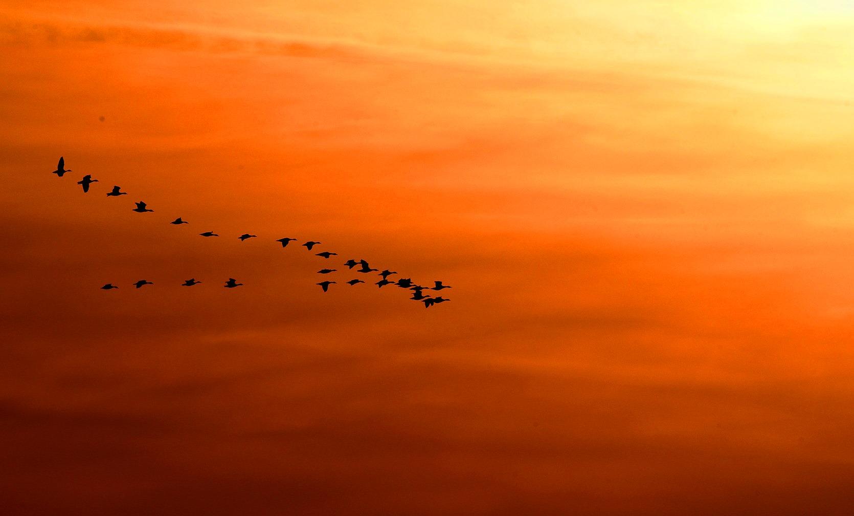 Een vlucht wilde ganzen vloog langs de kleurrijke avondlucht - Foto: ©Louis Fraanje