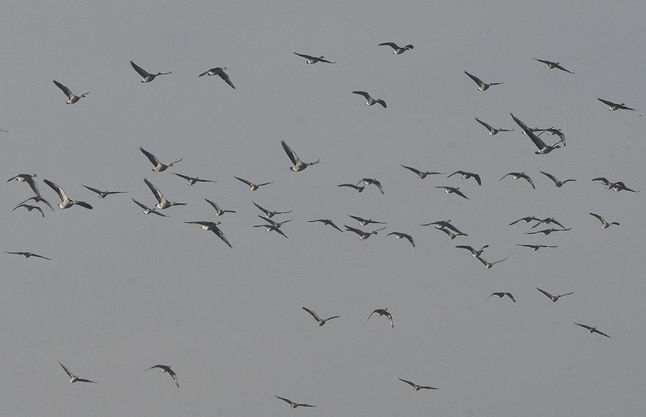 Trokken er tientallen vluchten wilde ganzen over - Foto: ©Louis Fraanje