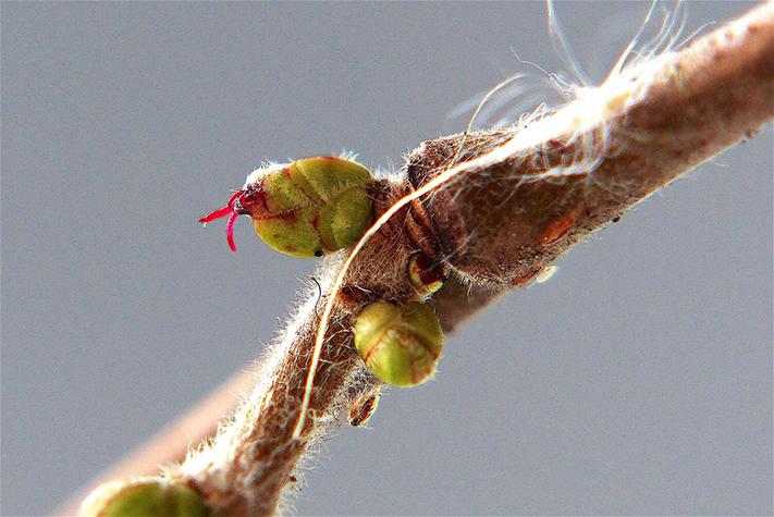 De reeds ontloken blaadjes aan de knoppen van de hazelaar - Foto: ©Christien Mouw