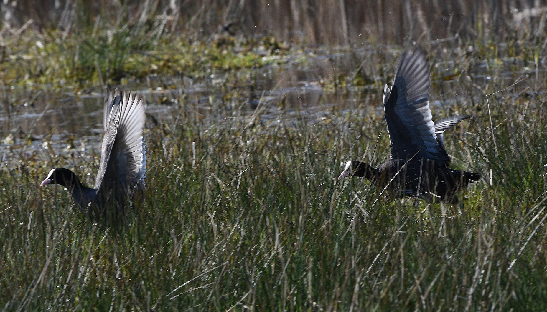 Meerkoeten rennen en vliegen achter elkaar aan – Foto: ©Louis Fraanje