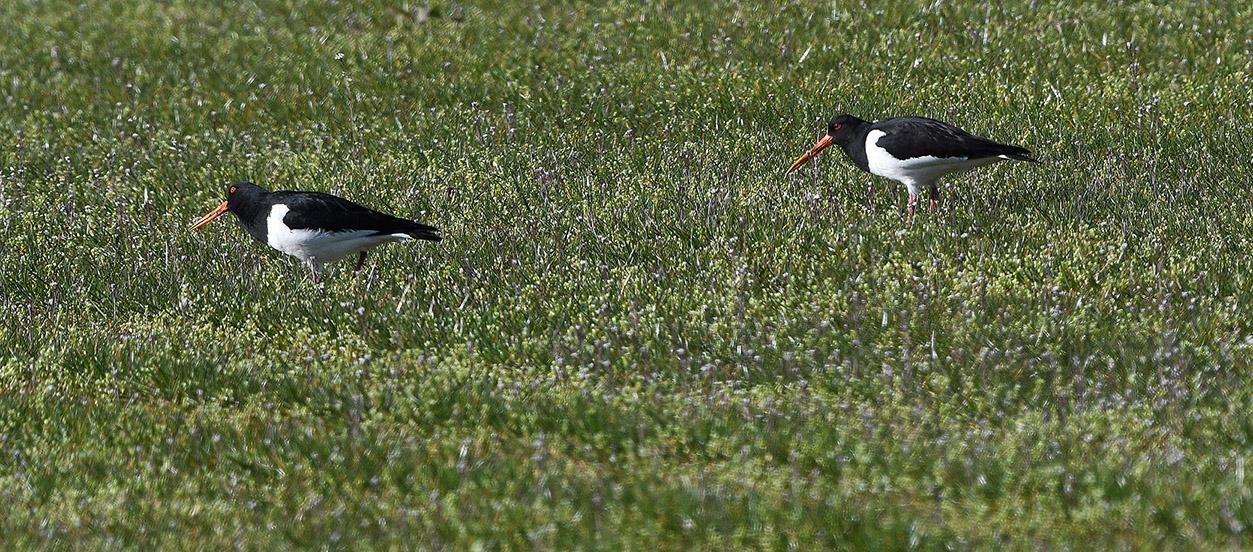 Een paartje scholeksters tippelen op zoek naar insecten – Foto: ©Louis Fraanje