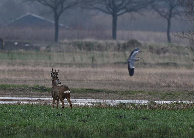 Als Pollux II even staat bij te komen, zien we een blauwe reiger wegvliegen - Foto: ©Louis Fraanje