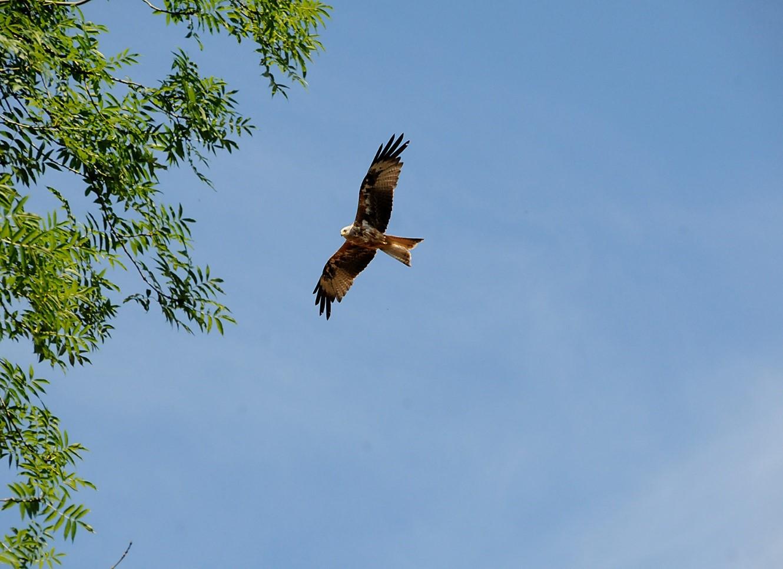 Rode Wouw in vlucht op zoek naar een lekker mals hapje - Foto: ©Ton Heekelaar