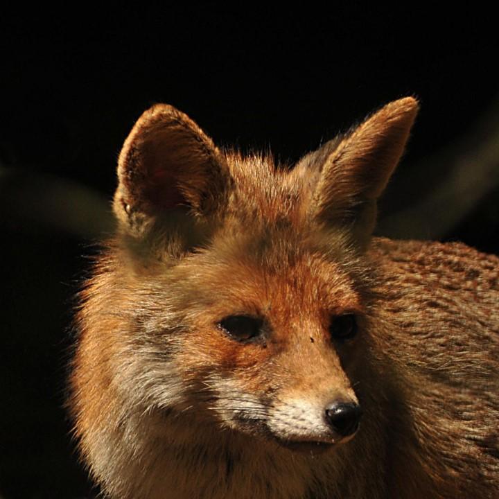 Reinaert de vos een oude bekende vrijbuiter - Foto: ©Ton Heekelaar