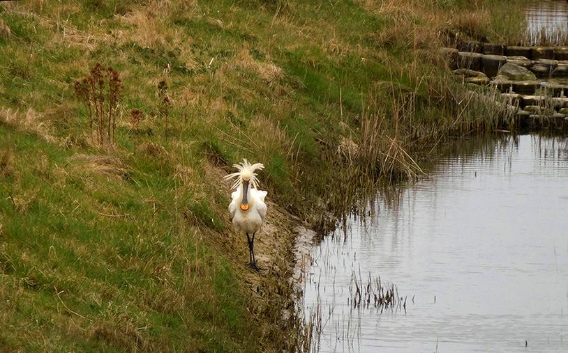 De wandelende lepelaar met zijn prachtige omhoog staande kuif - Foto: ©Fransien Fraanje