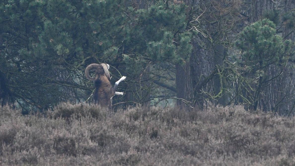 De moeflonram staat op zijn achterpoten en kan zo gemakkelijk bij zijn eten - Foto: Louis Fraanje