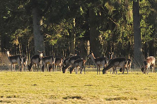 Groot roedel damwild op het Deelerwoud - Foto: ©Ton Heekelaar