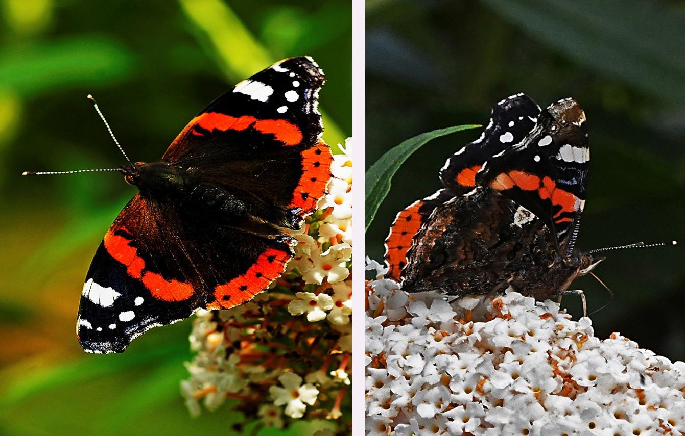 De Atalanta met boven- en zijaanzicht, winnaar landelijke vlindertelling 2017 - Foto's: Ton Heekelaar
