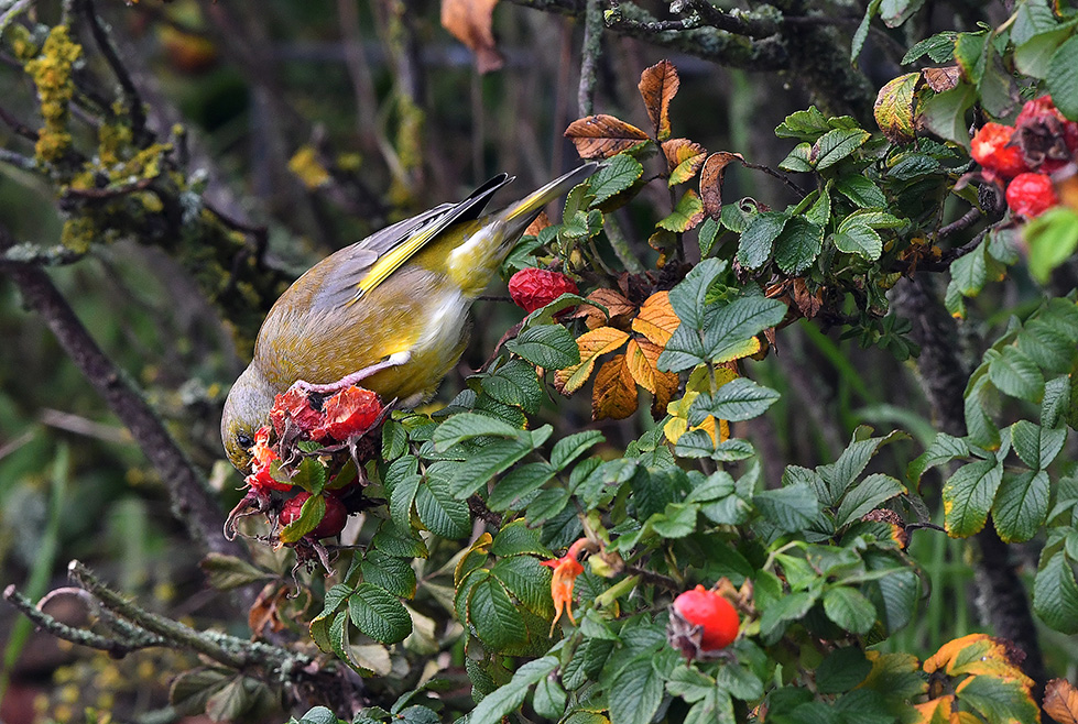 De groenling verdween met snavel en al in de rozenbottel - Foto: ©Louis Fraanje