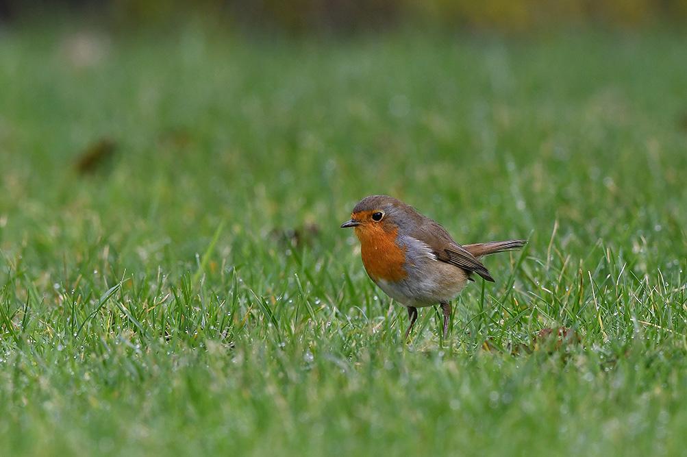 Het roodborstje zit in het gras rond te speuren naar insecten - Foto: ©Louis Fraanje