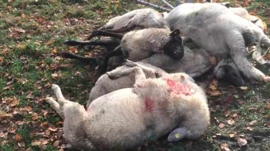 Von Wölfen gerissene Schafe des Schäfers Martin Just. (Martin Just)