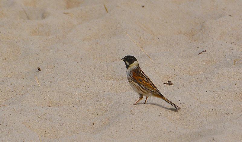 Ineens, land er een rietgors recht voor ons in het zand - Foto: ©Louis Fraanje