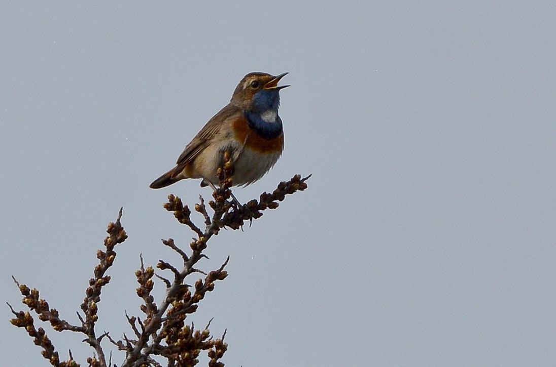 Bovenop een duindoorn zit de blauwborst te zingen - Foto: ©Fransien Fraanje