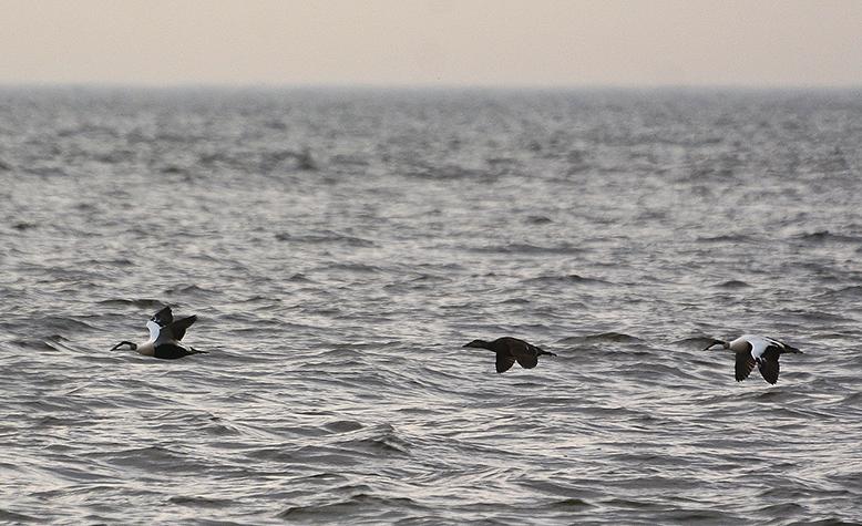 Met een supersonische snelheid vliegen de 'eiders' voorbij - Foto: ©Louis Fraanje