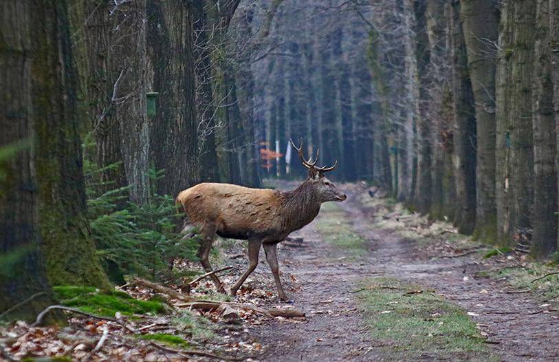 Heel rustig steekt Lambertus het bospad over – Foto: ©Johan Jansen