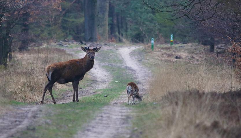 Dinsdagavond zagen we dit hert en het moeflonlam was er ook bij - Foto: Johan Jansen