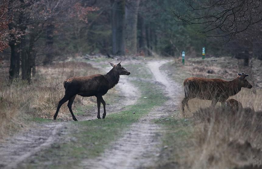 Eén voor één staken de herten het pad over - Foto: Johan Jansen