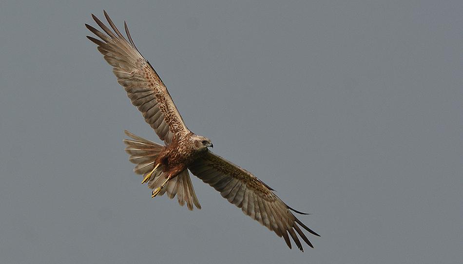 Ineens kwam de bruine kiekendief boven ons zweven - Foto: ©Louis Fraanje