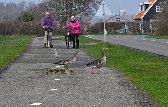 Onder toeziend oog van het echtpaar steken ze het fietspad over – Foto: ©Louis Fraanje