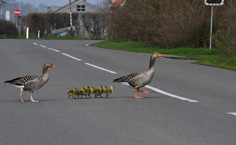 Keurig in de pas van ma en pa de grote weg oversteken – Foto: ©Louis Fraanje