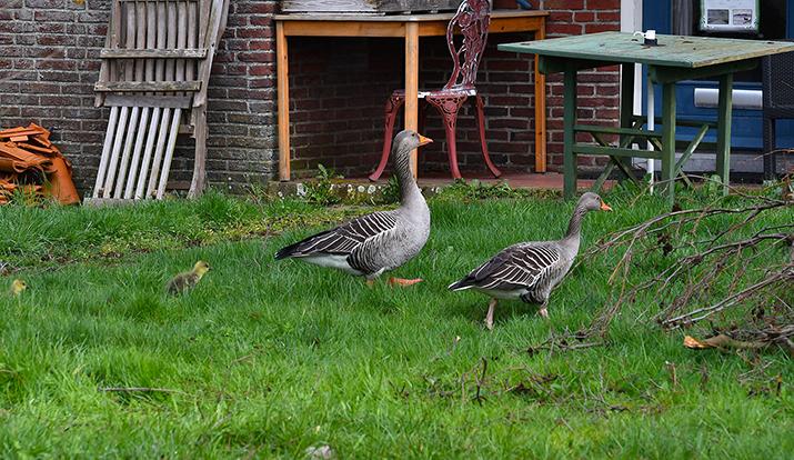 Achter het huis bij iemand op het erf zoeken ze een veilig heenkomen – Foto: ©Louis Fraanje