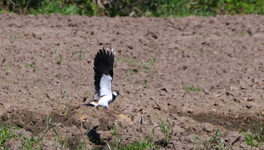 De kievit-ouder vliegt laag over de akker - Foto: ©Jan van Uffelen