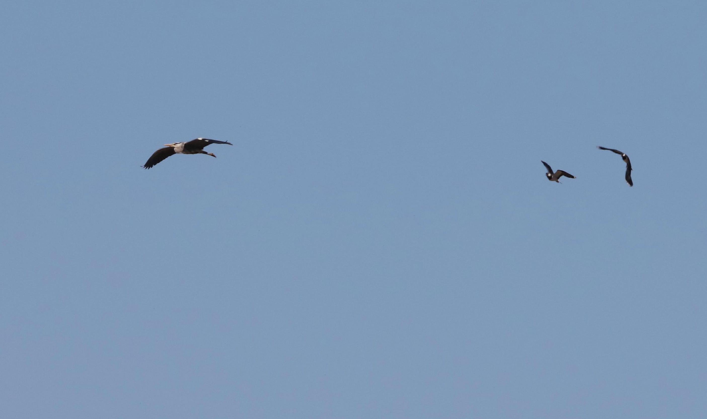 De reiger vliegt voorbij, maar de kieviten blijven alert - Foto: ©Jan van Uffelen