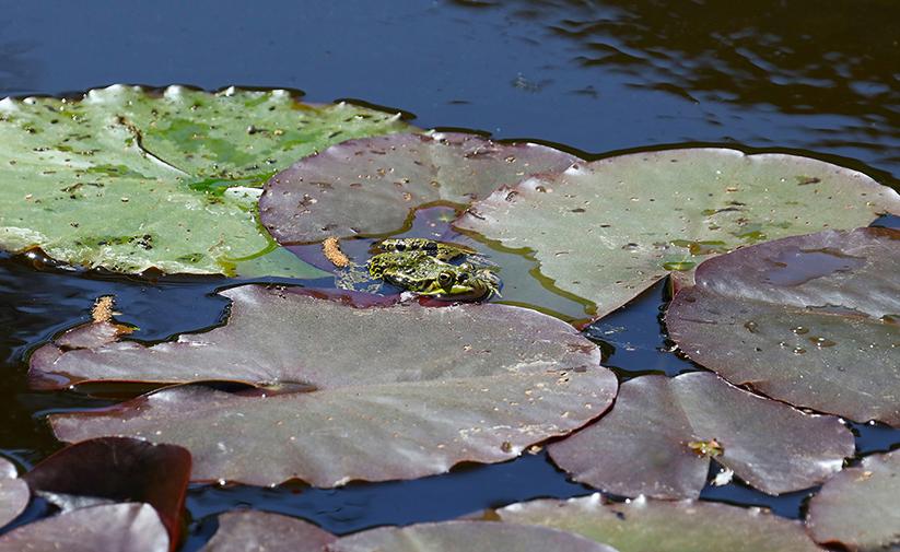 Het insect loopt over de neus van de groene kikker – Foto: ©Jan van Uffelen