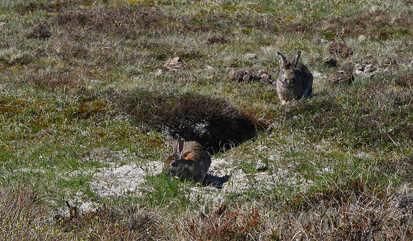De konijntjes bij hun hol in de duinen van Texel - Foto: ©Fransien Fraanje
