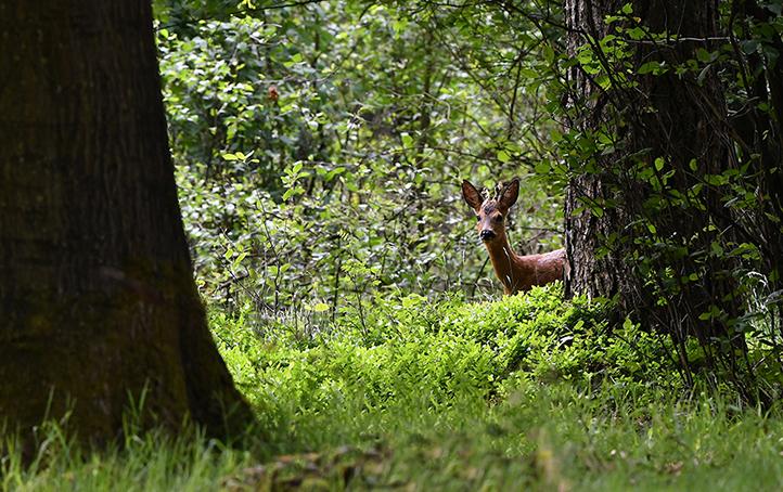 Een prachtig gezicht, die bruine bok achter de groene bosbesstruiken – Foto: ©Louis Fraanje