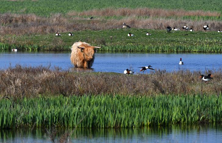 Een Schotse Hooglander te midden van de watervogels - Foto: ©Louis Fraanje