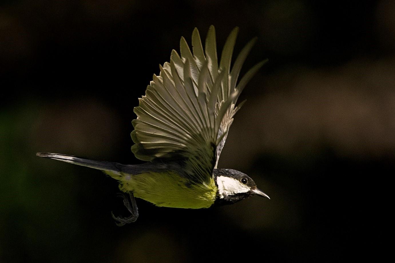 Technisch verfijnde buiten fotografie van een vliegende Koolmees - Foto: ©Ton Heekelaar.