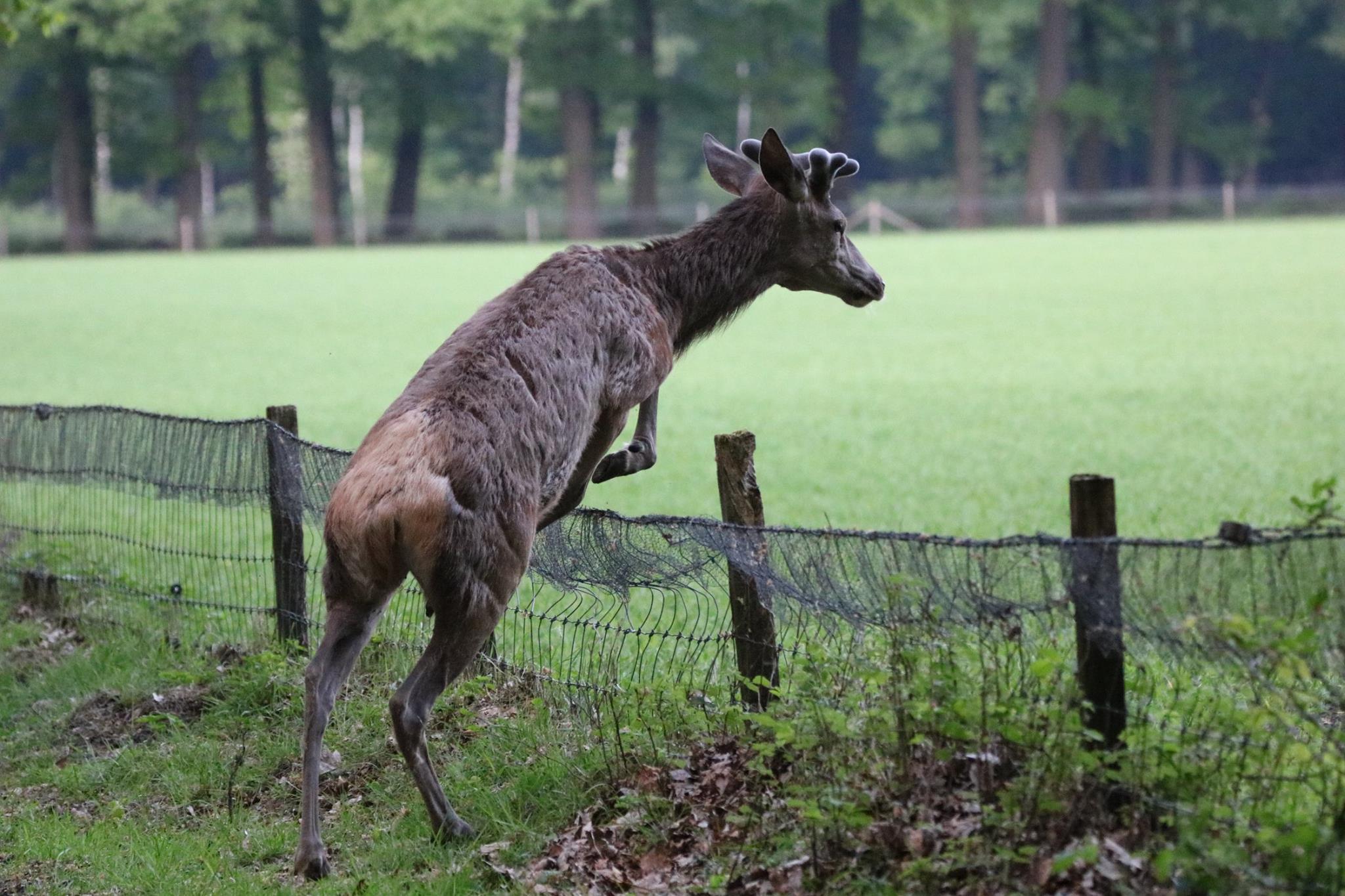 Het raster is voor Lambertus geen probleem hij is een goede springer - Foto: ©Johan Jansen