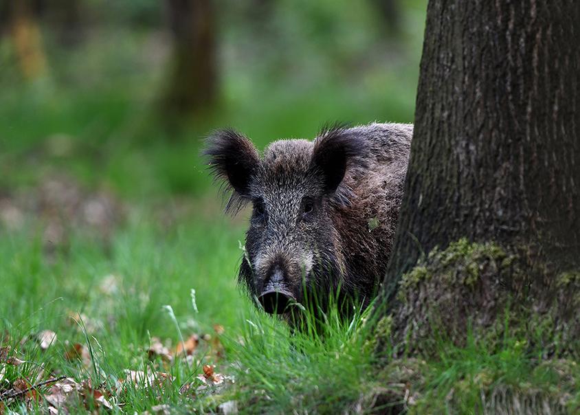 Ineens verschijnt de grote kop van het wilde zwijn vanachter de boom - Foto: ©Louis Fraanje