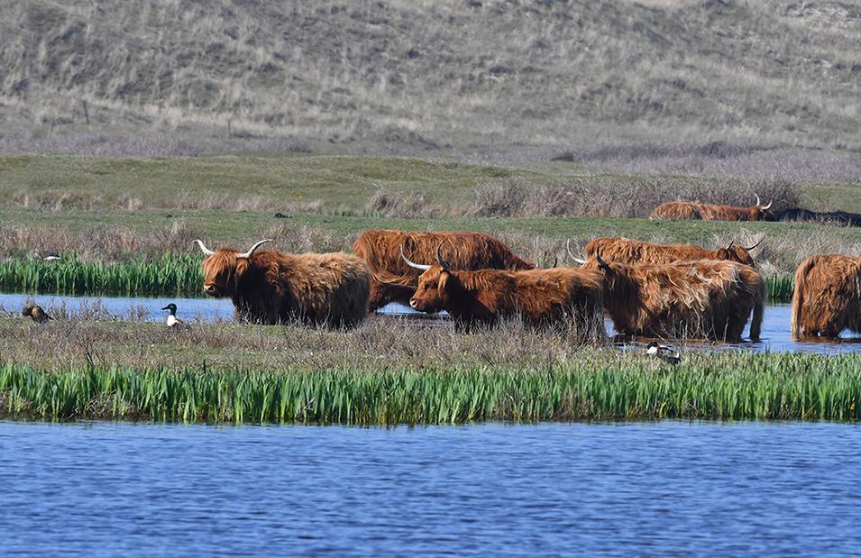 Helemaal links van de koeien zit het paartje slobeenden - Foto: ©Louis Fraanje