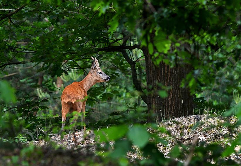 Even later trok hij de heuvel op en verdween in de dekking – Foto: ©Louis Fraanje