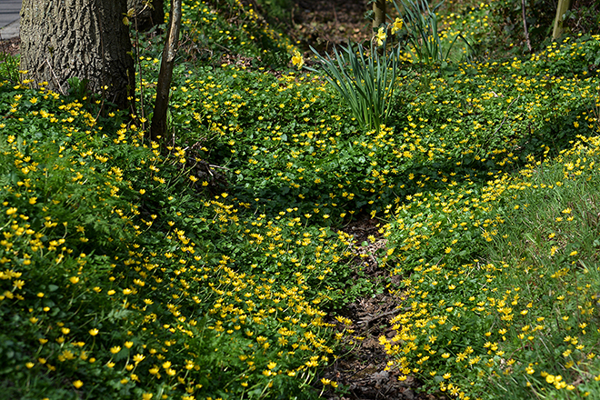 De hele bodem is geel van het bloeiende speenkruid - Foto: ©Fransien Fraanje