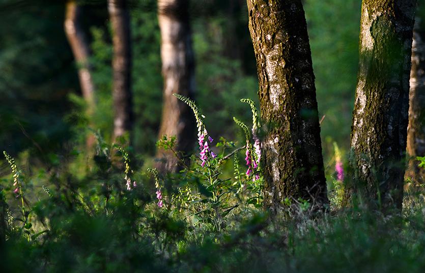 Kleurrijk Vingerhoedskruid tussen de berken - Foto: ©Louis Fraanje