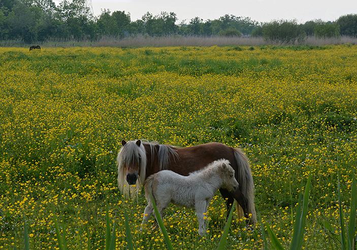 Zo stonden ze samen in de gele bloemenzee van boterbloemen - Foto: ©Louis Fraanje