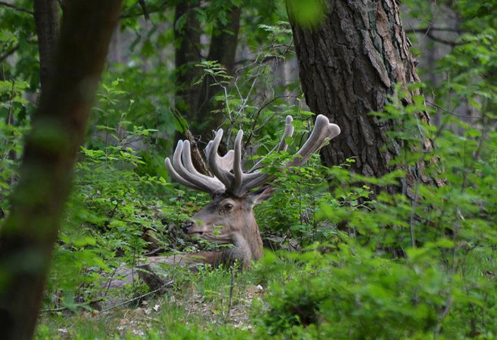 Verscholen tussen de struiken, zit Hubertus heerlijk te herkauwen - Foto: ©Florus van den Berg