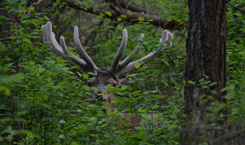 Dan ligt Hubertus even later weer verscholen tussen de bladeren - Foto: ©Florus van den Berg