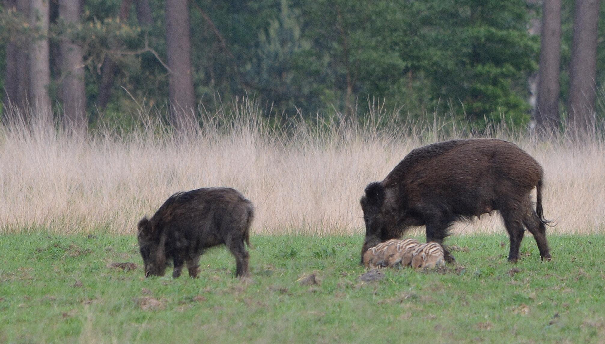 Dan komt ze overeind en moeten ook de biggen het gras maar eens proeven - Foto: ©Florus van den Berg